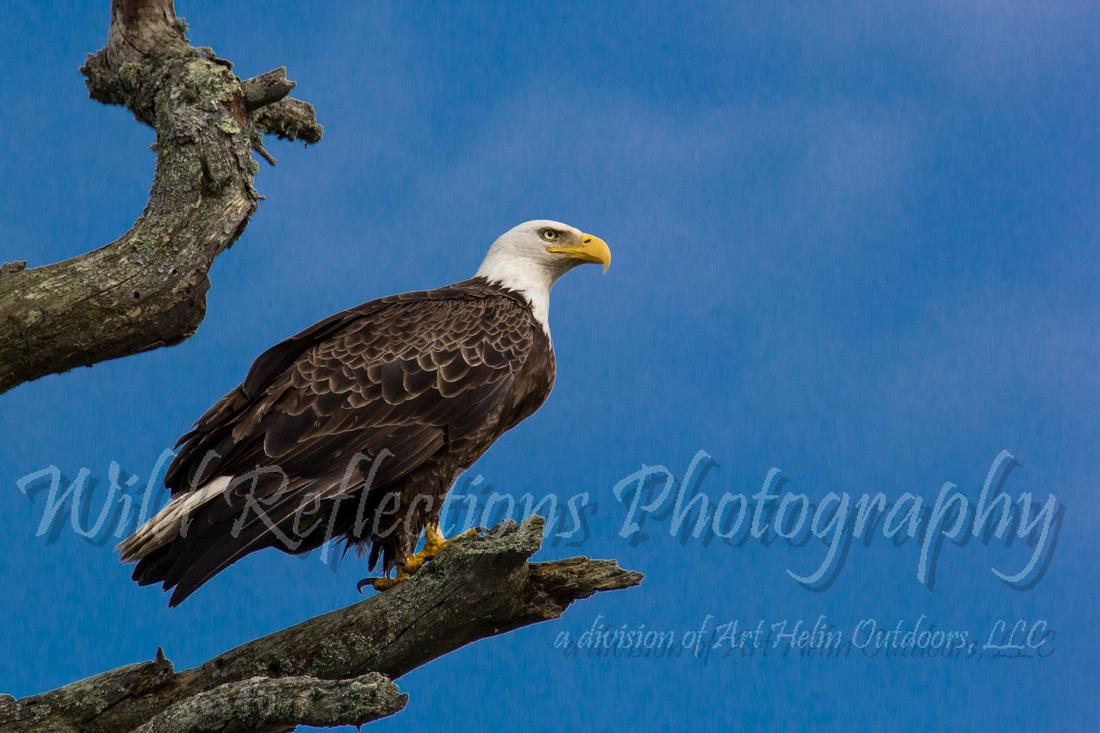 Blue sky Bald Eagle