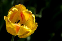 Red striped Tulip