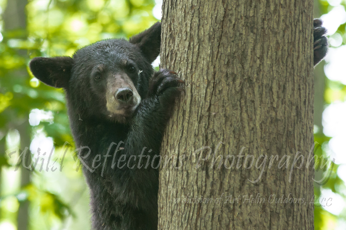 peak a boo Black bear