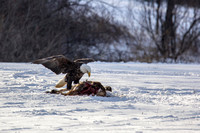 eagle on deer / pheasant hiding