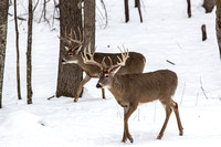 Majestic Winter Whitetails